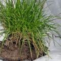 Flora_Rasenstück-Gras
