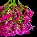 Sommerblüten-Sommerflieder