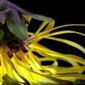 Sommerblüten-Strohblume